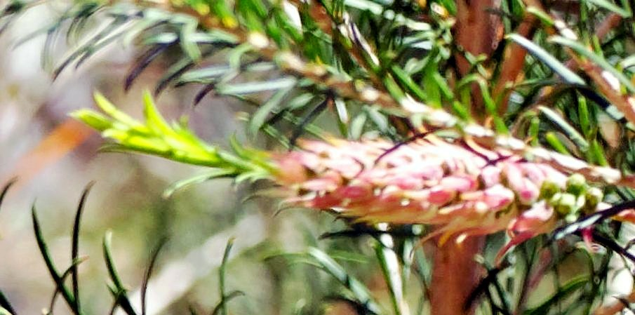This should be Melaleuca-detail.jpeg.  Is it missing?