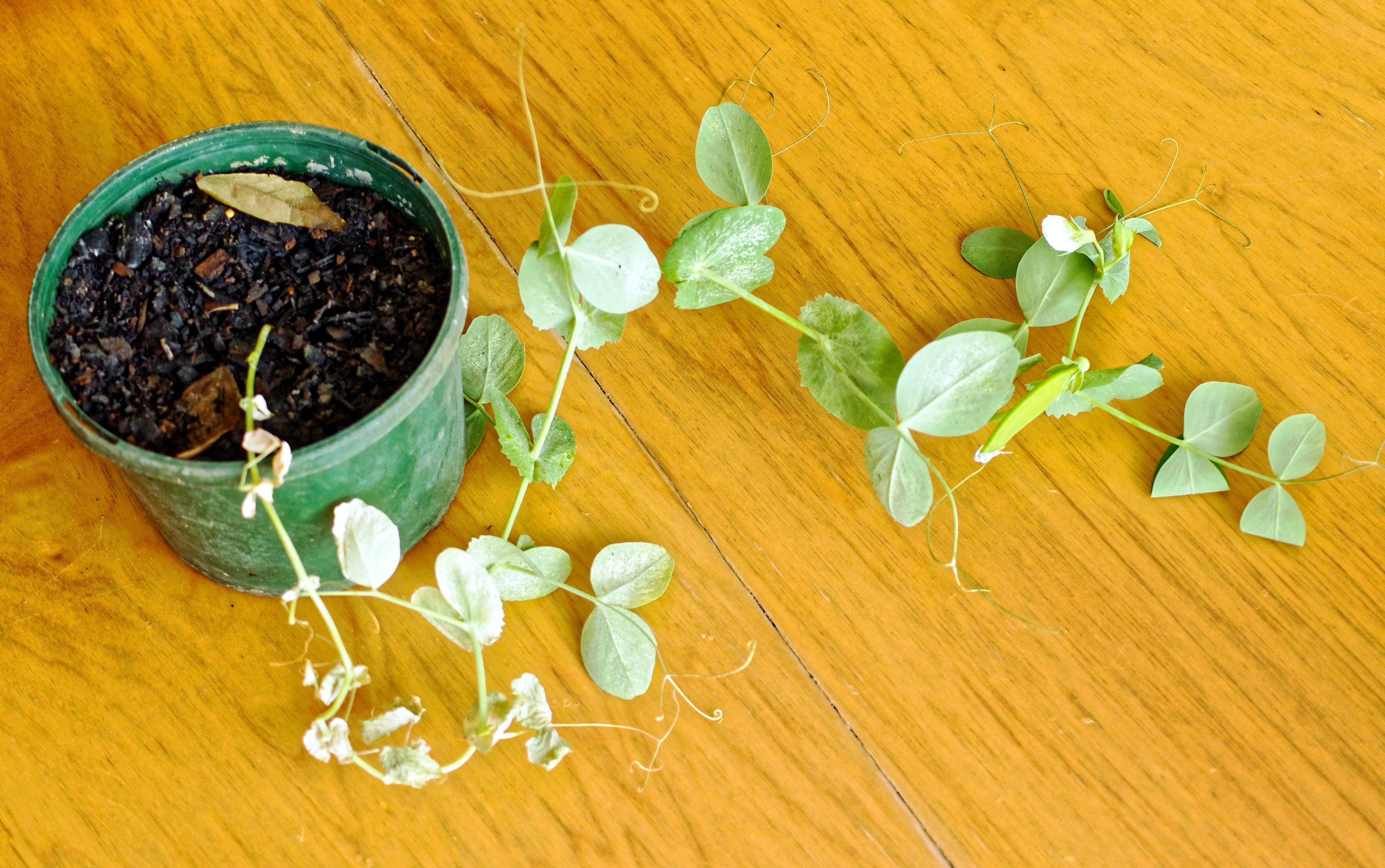 Snow-peas-4.jpeg
