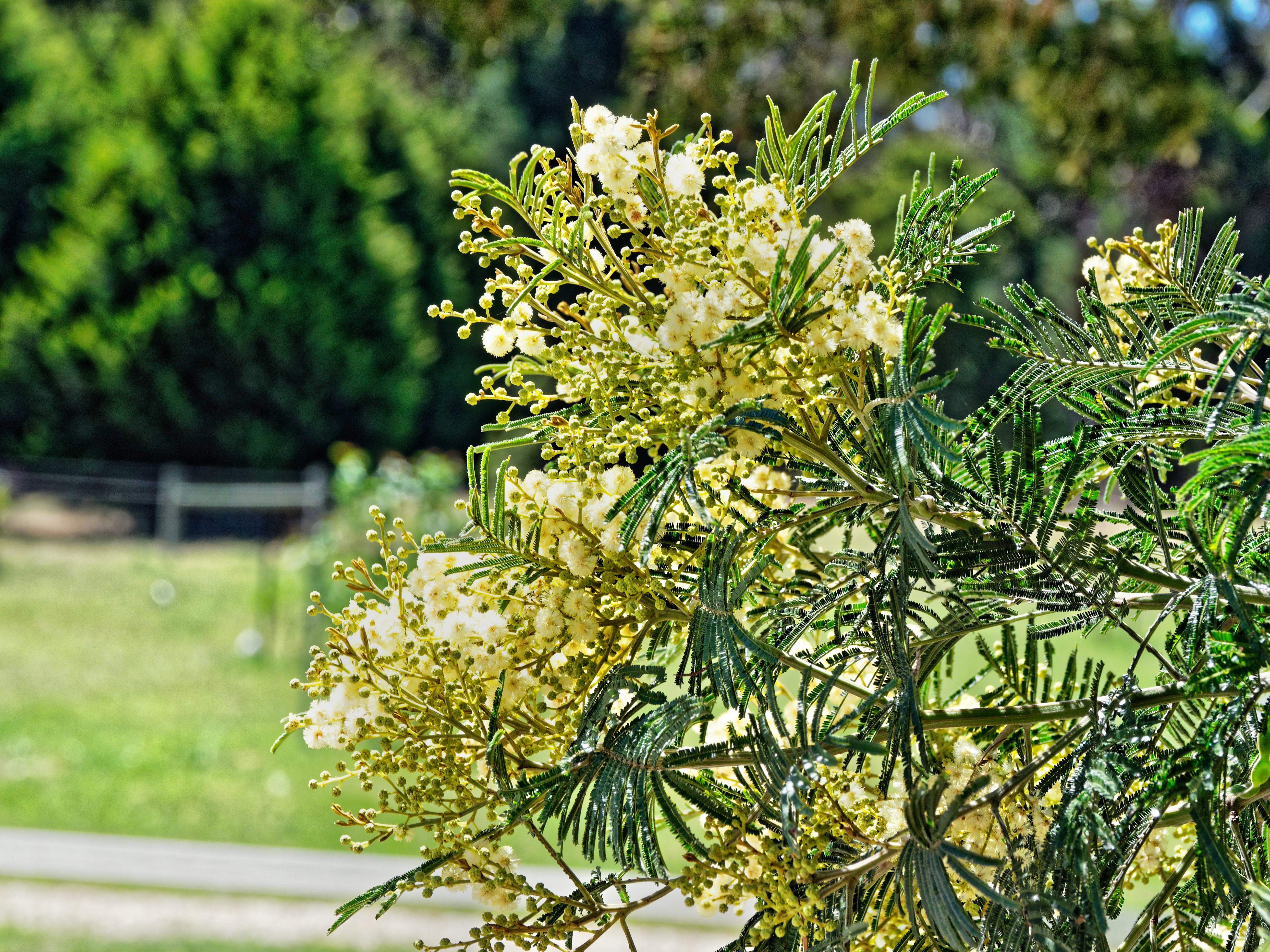 Acacia-3.jpeg