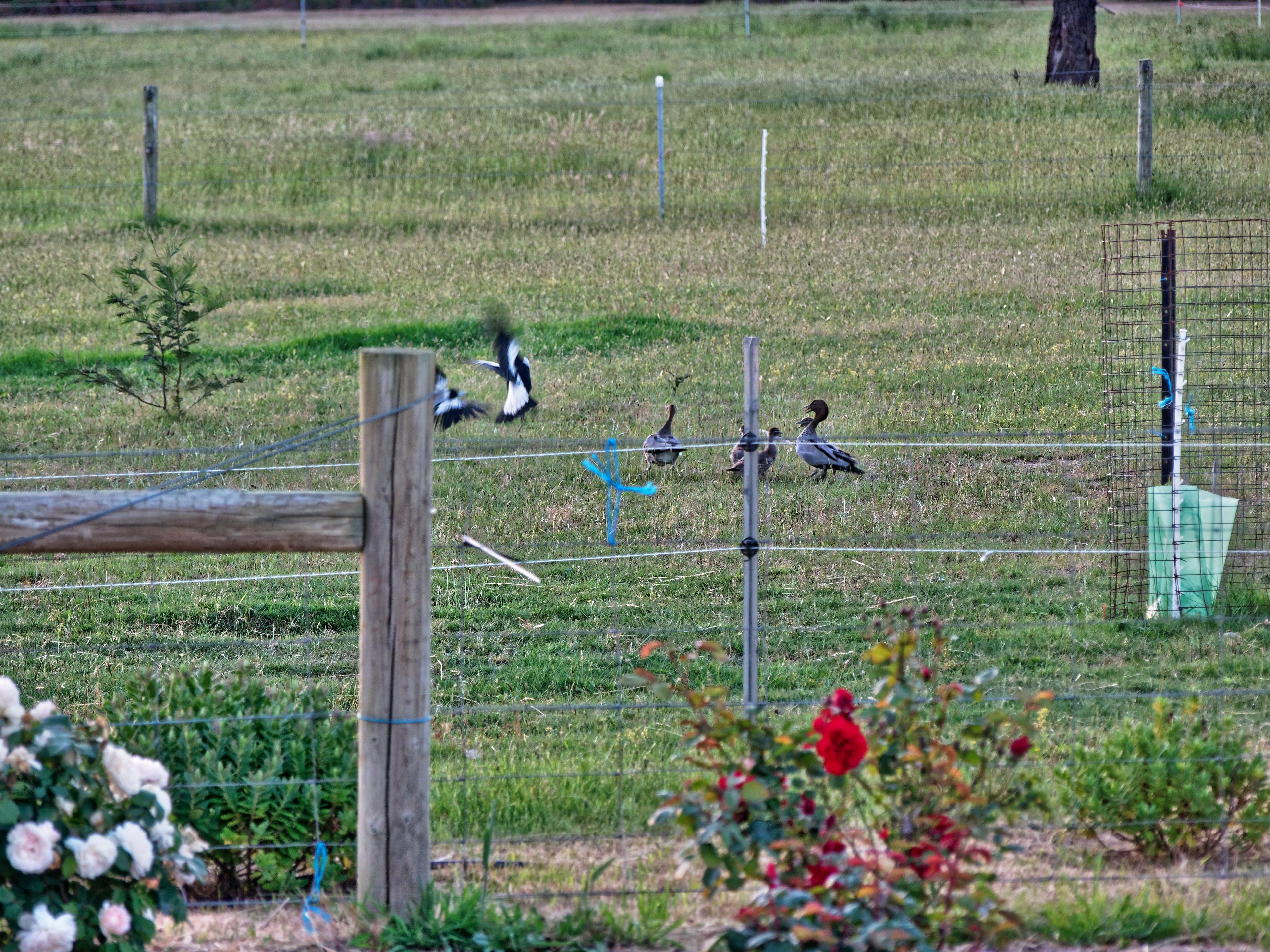 Magpies-and-ducks-10.jpeg