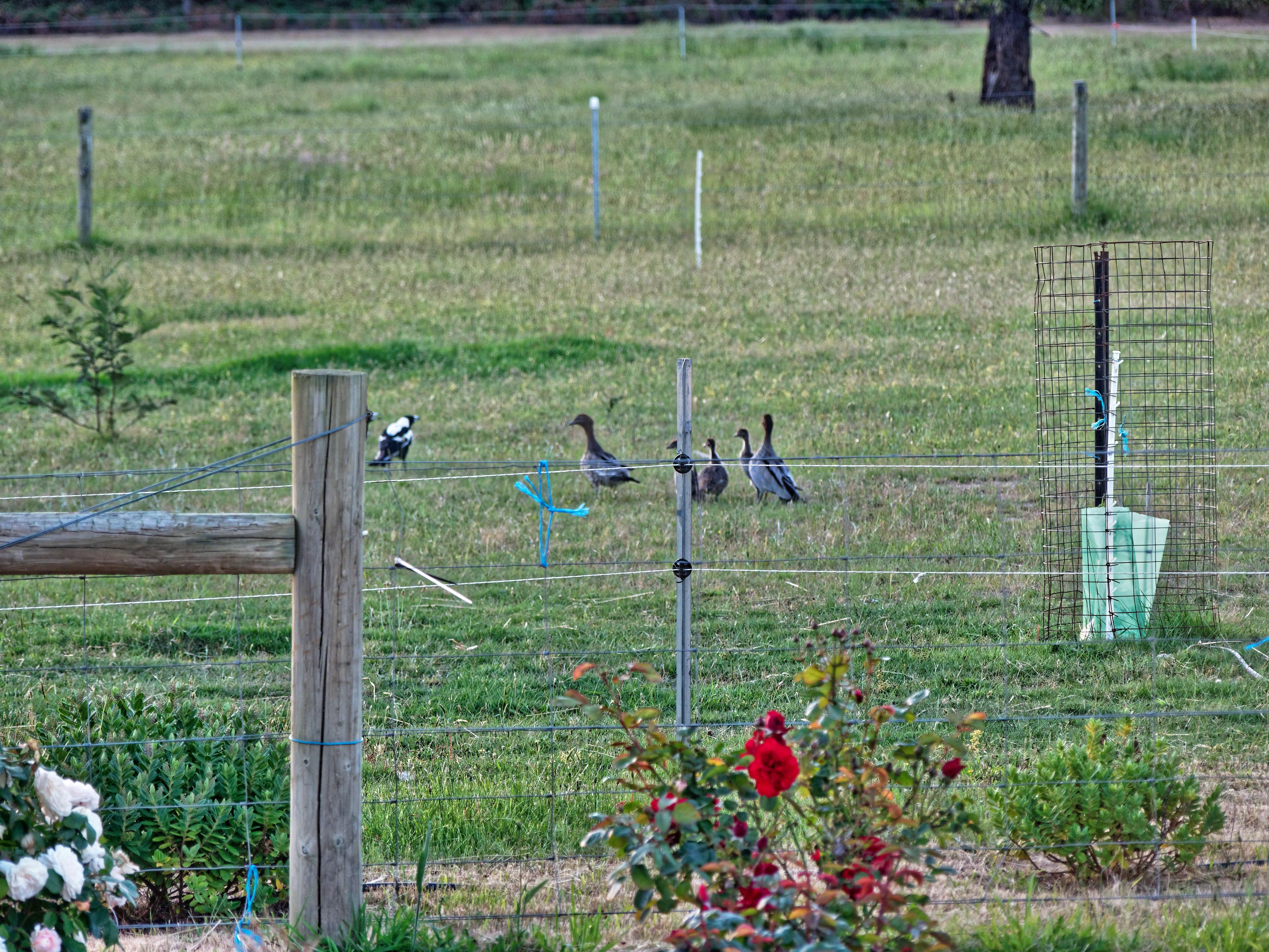 Magpies-and-ducks-11.jpeg