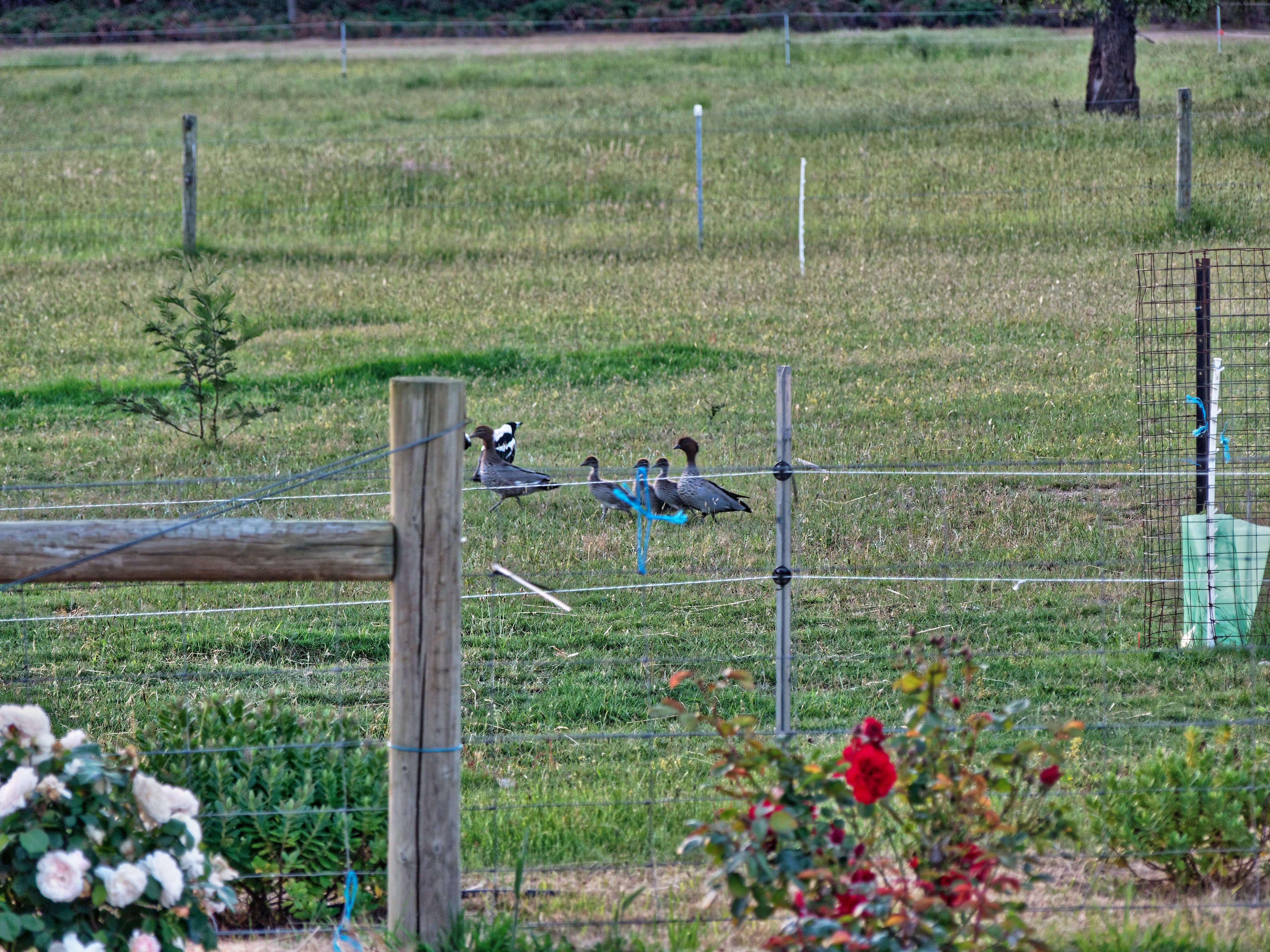 Magpies-and-ducks-12.jpeg