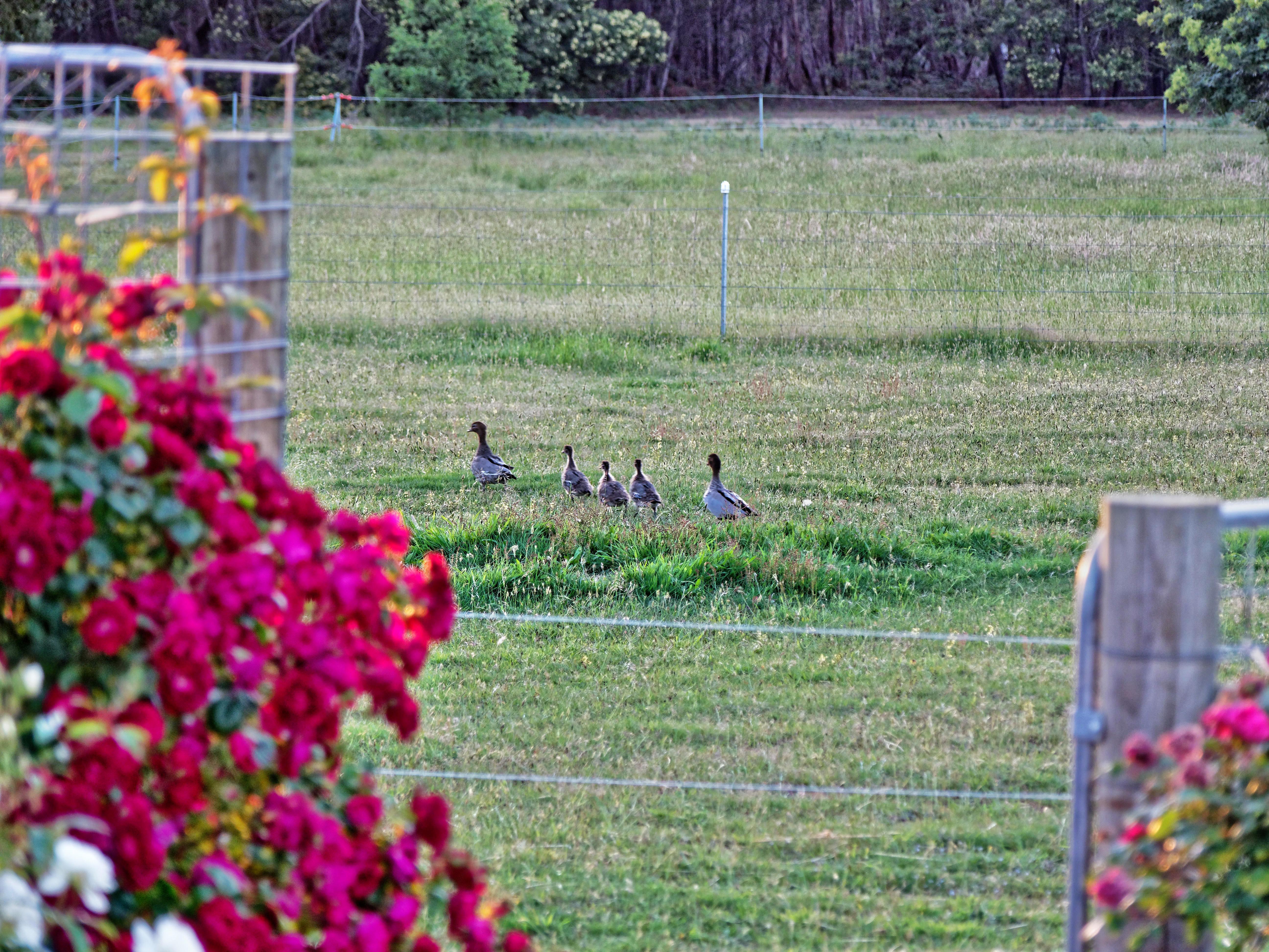 Magpies-and-ducks-18.jpeg