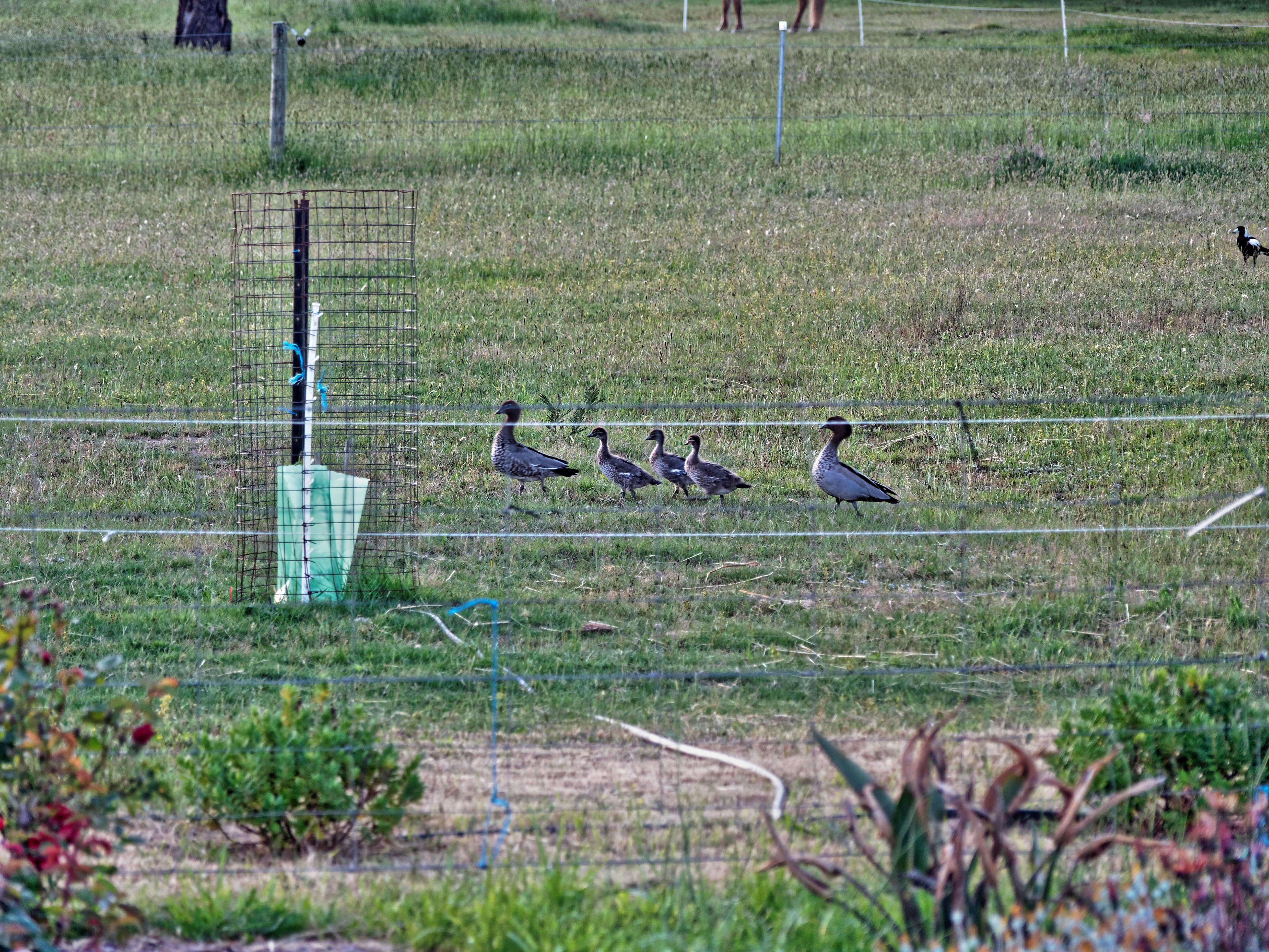 Magpies-and-ducks-2.jpeg