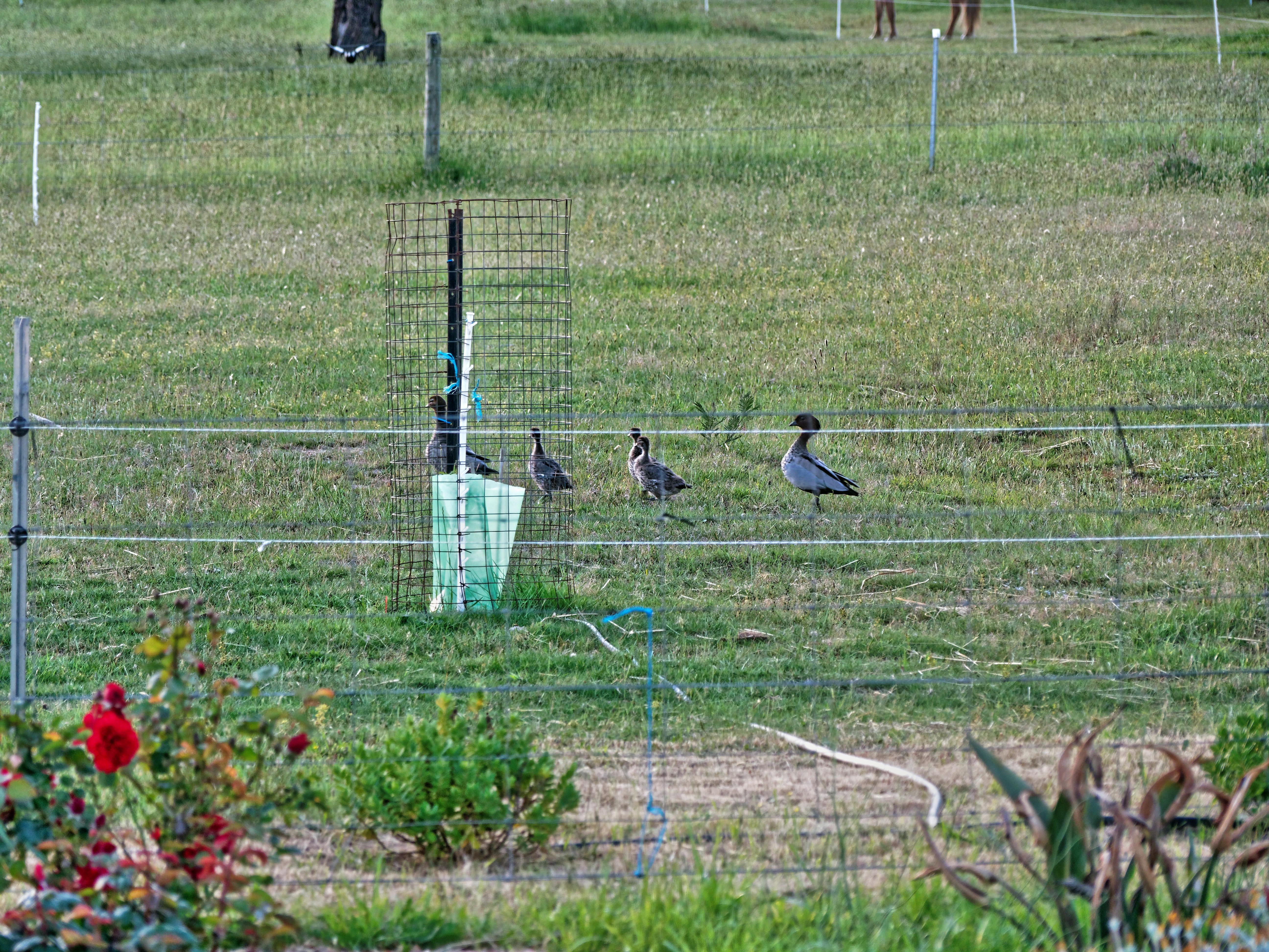 Magpies-and-ducks-3.jpeg