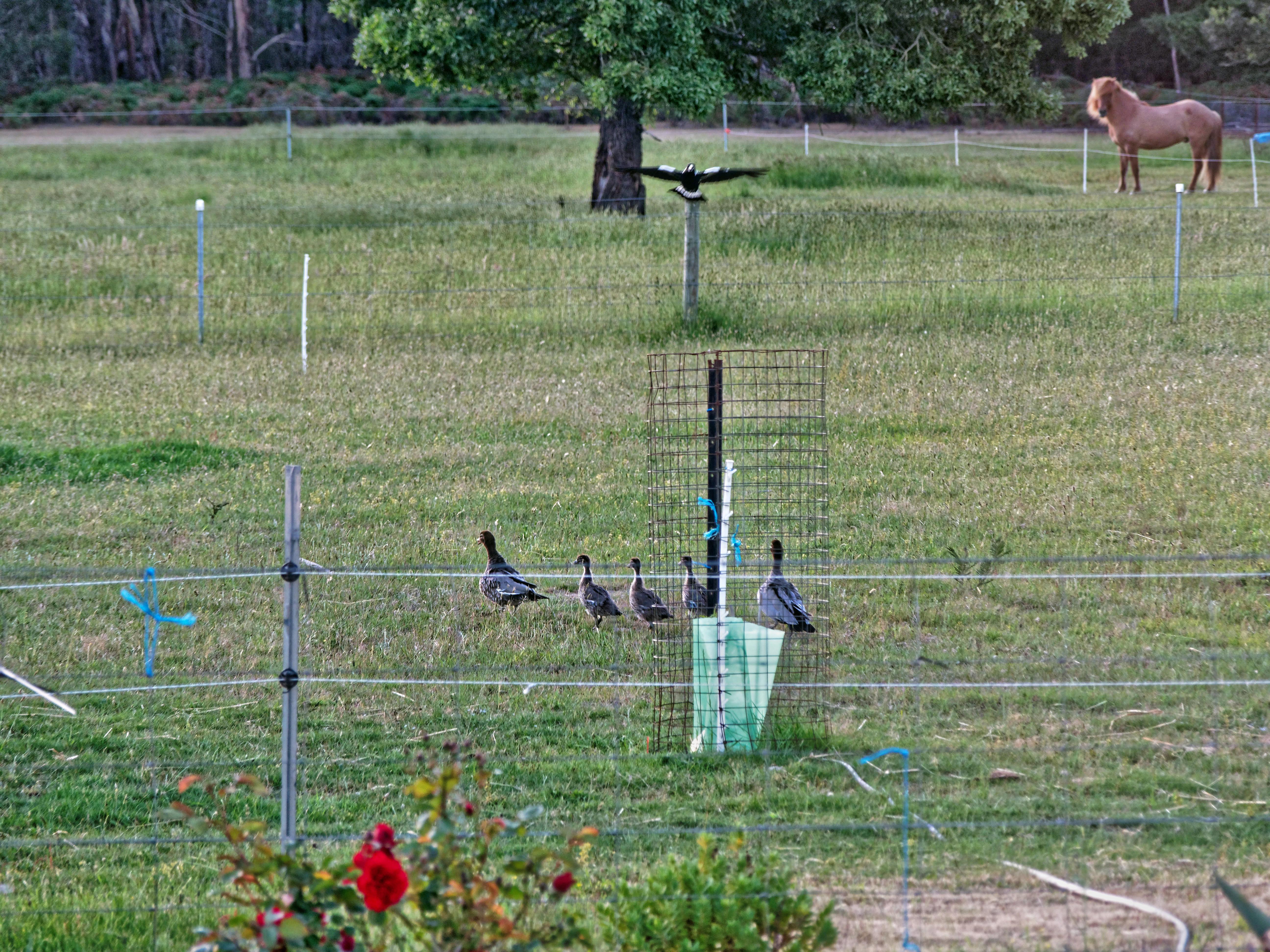 Magpies-and-ducks-4.jpeg