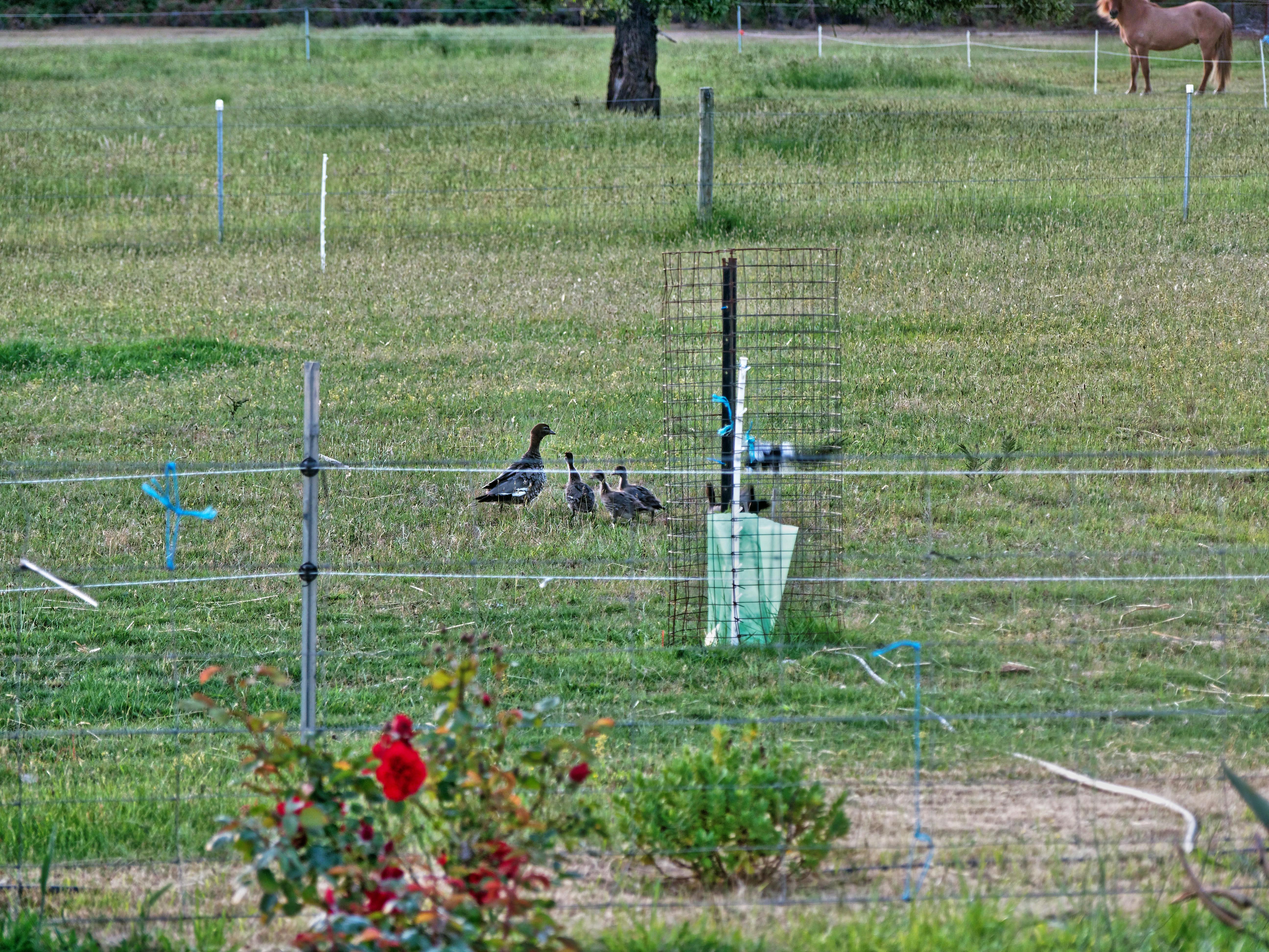 Magpies-and-ducks-5.jpeg