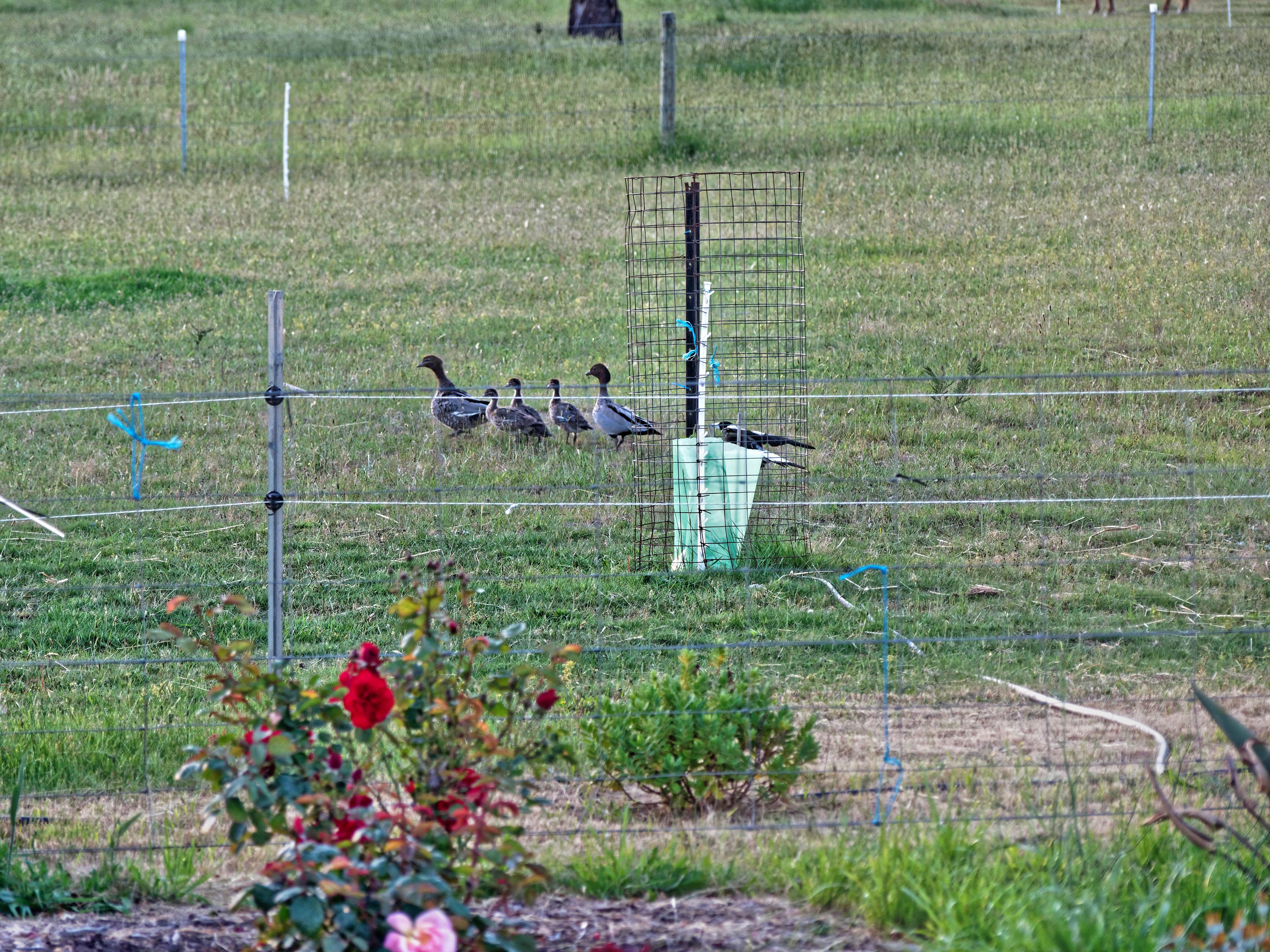 Magpies-and-ducks-7.jpeg
