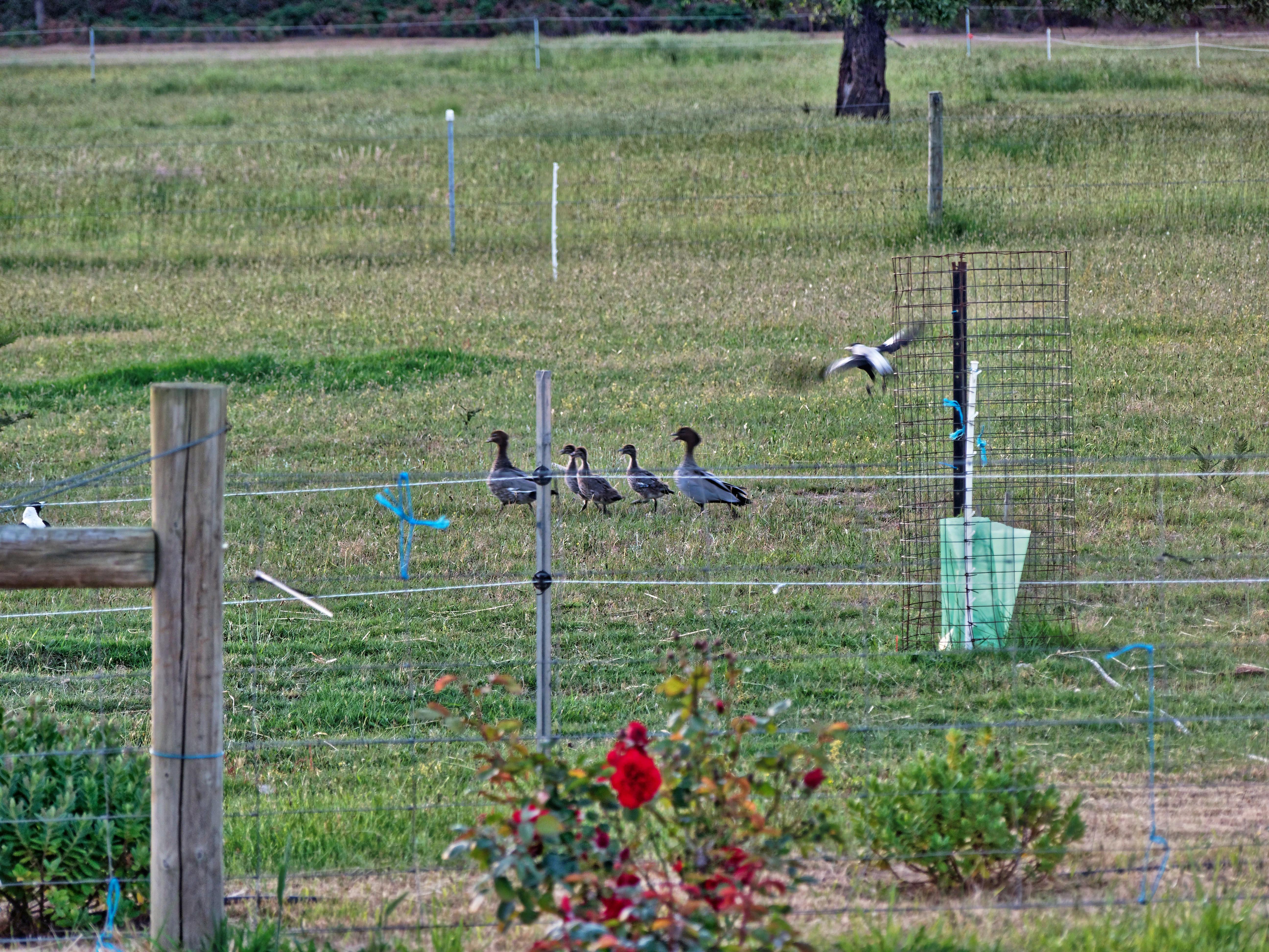 Magpies-and-ducks-8.jpeg