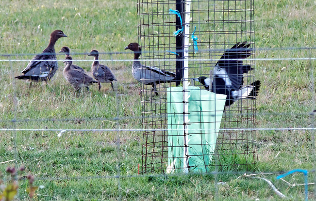 Magpies-and-ducks-6-detail.jpeg