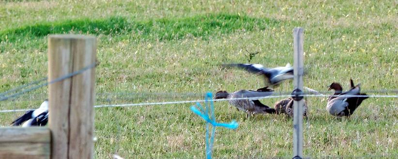 Magpies-and-ducks-9-detail.jpeg