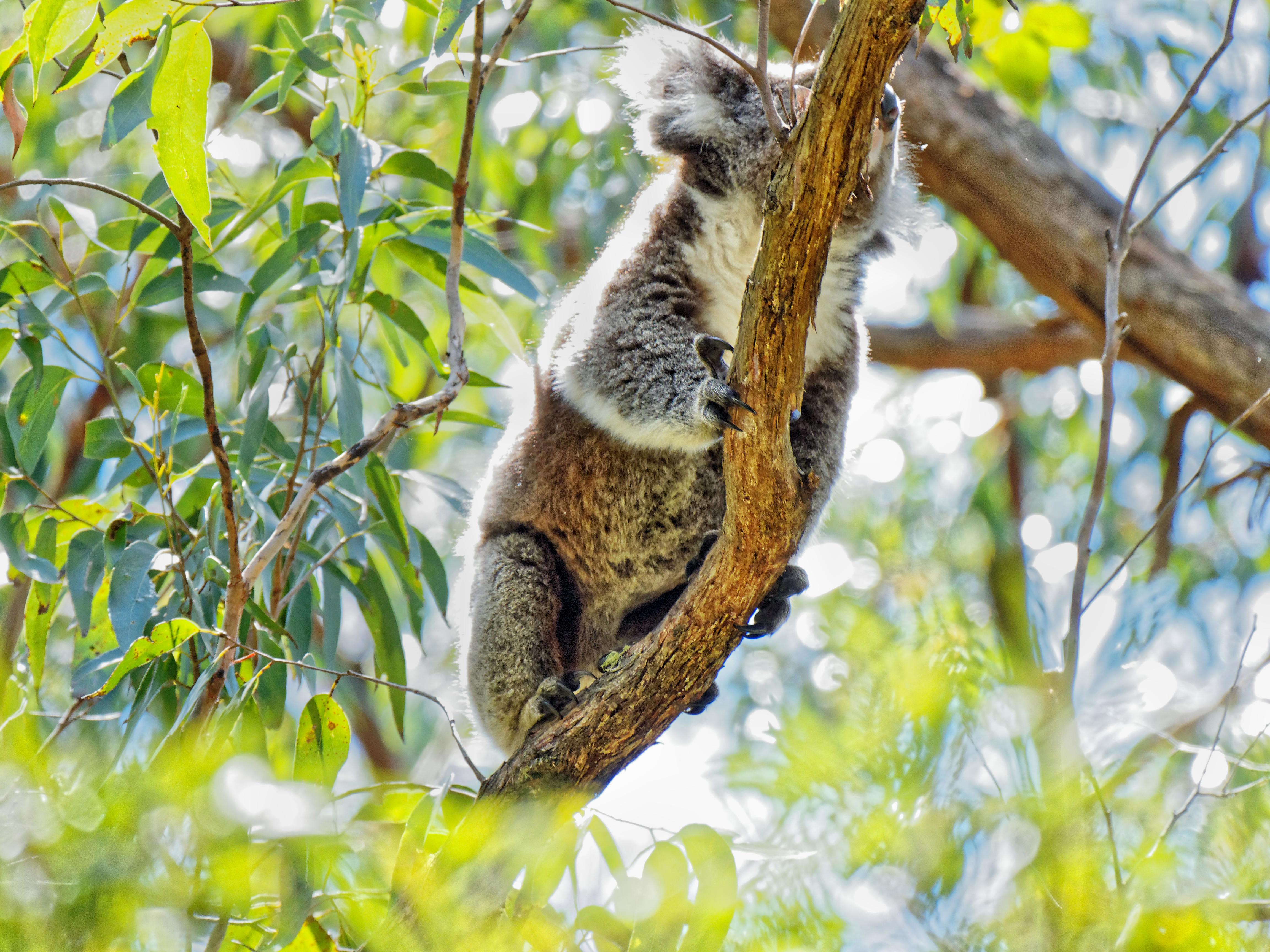 Koala-19.jpeg