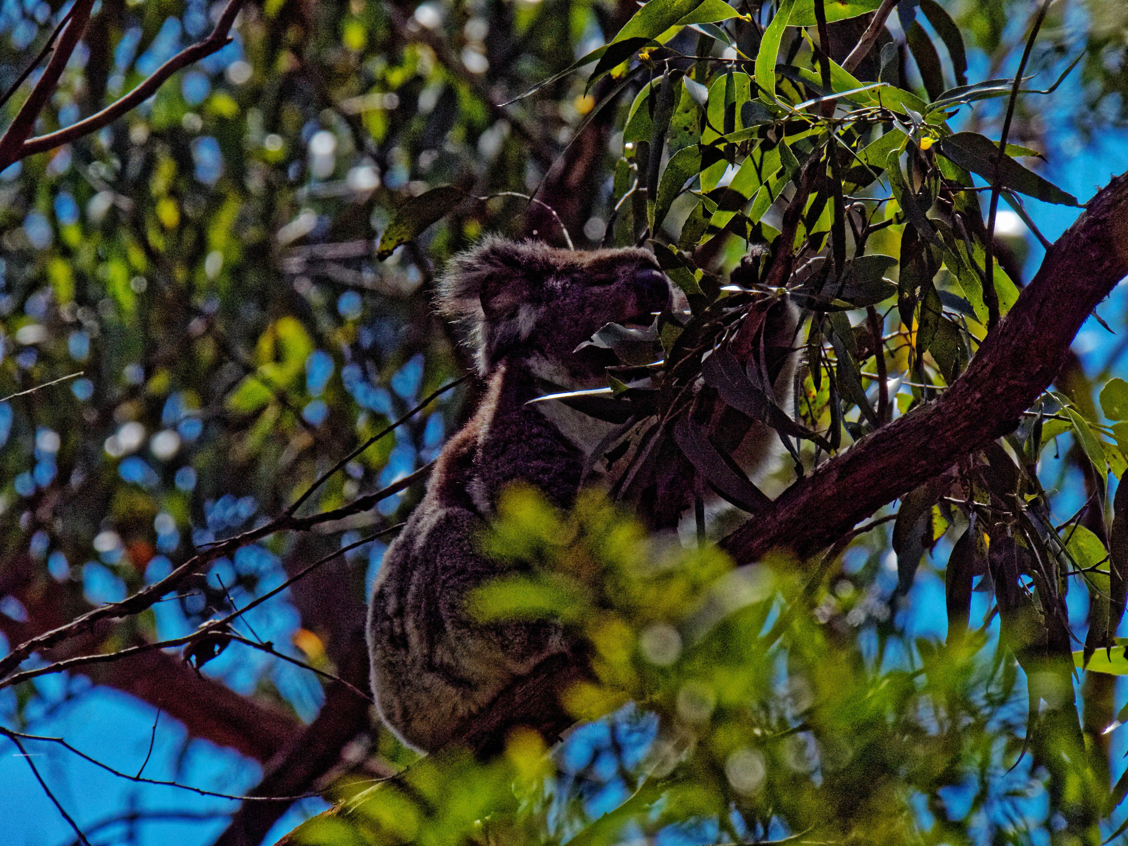 Koala-3.jpeg