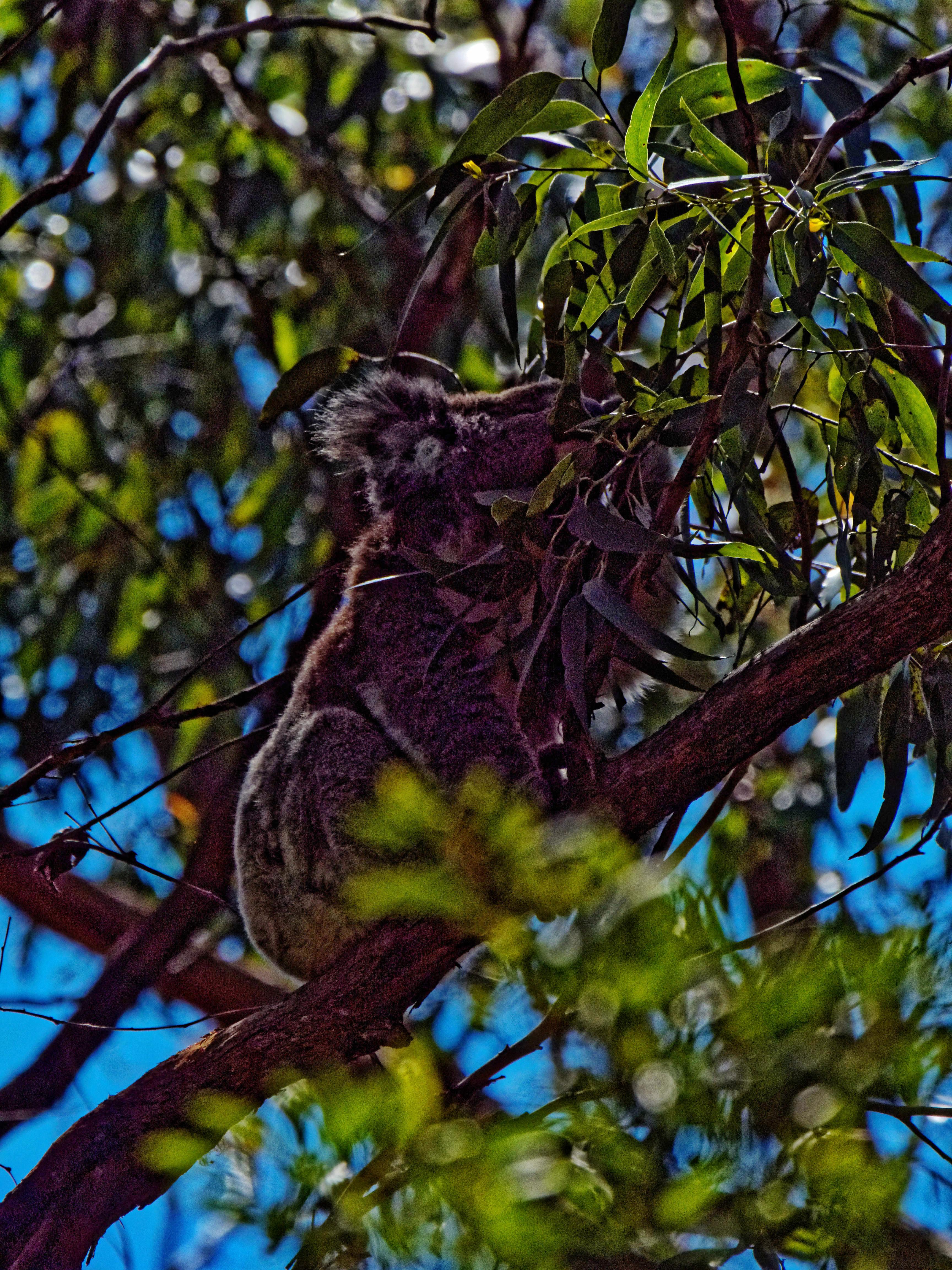 Koala-4.jpeg
