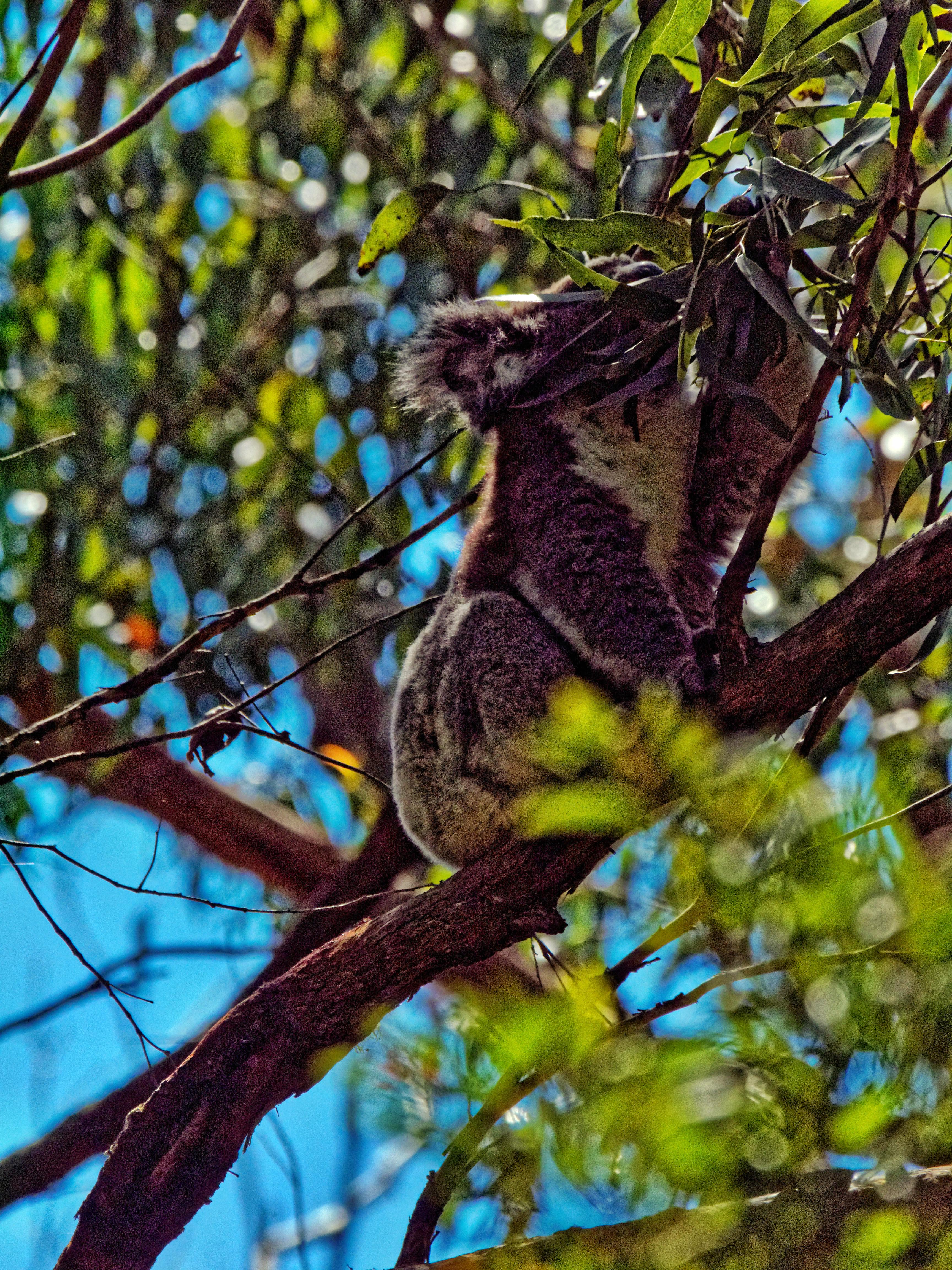 Koala-7.jpeg