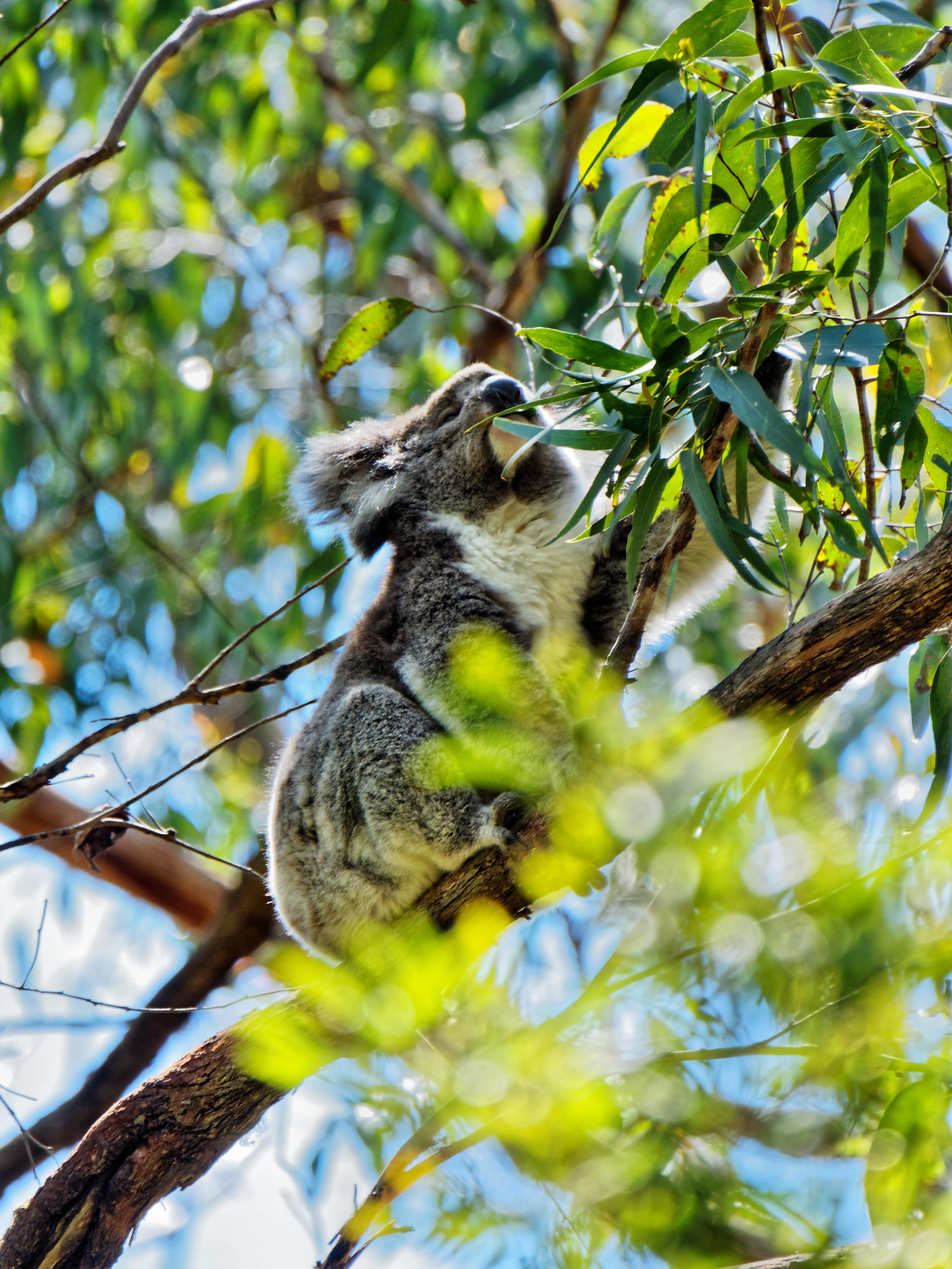 Koala-8.jpeg