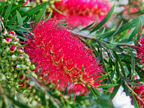 Bottlebrush-2.jpeg