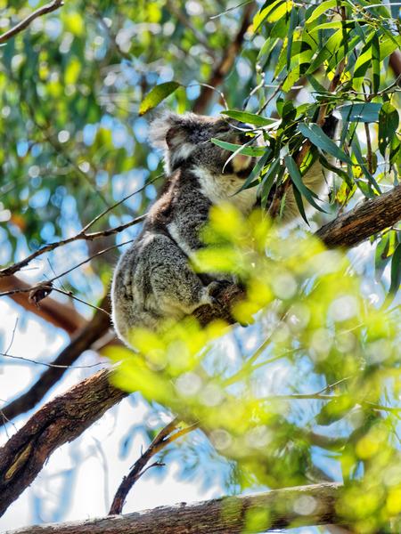 Koala-11.jpeg