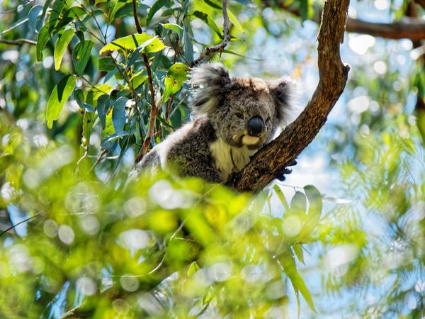 Koala-13.jpeg
