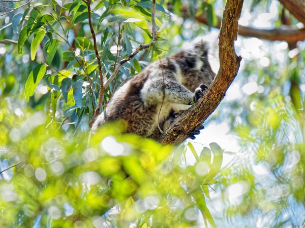 Koala-14.jpeg