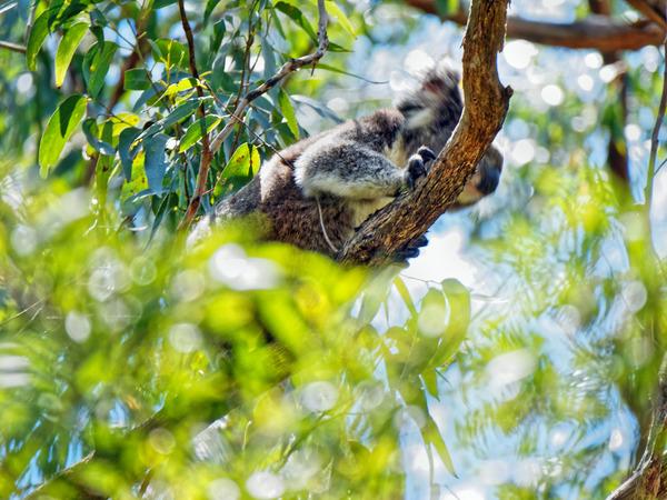 Koala-15.jpeg