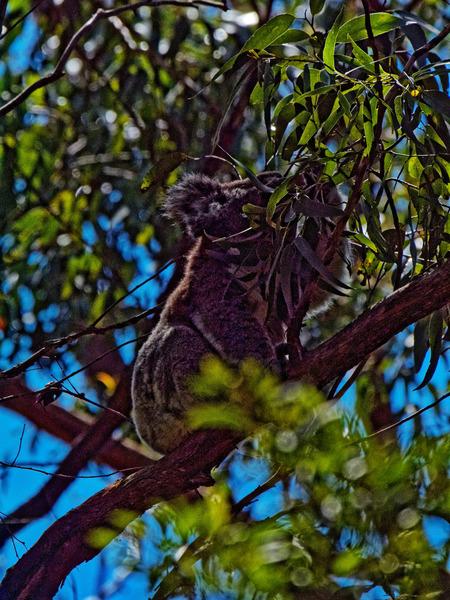 Koala-5.jpeg