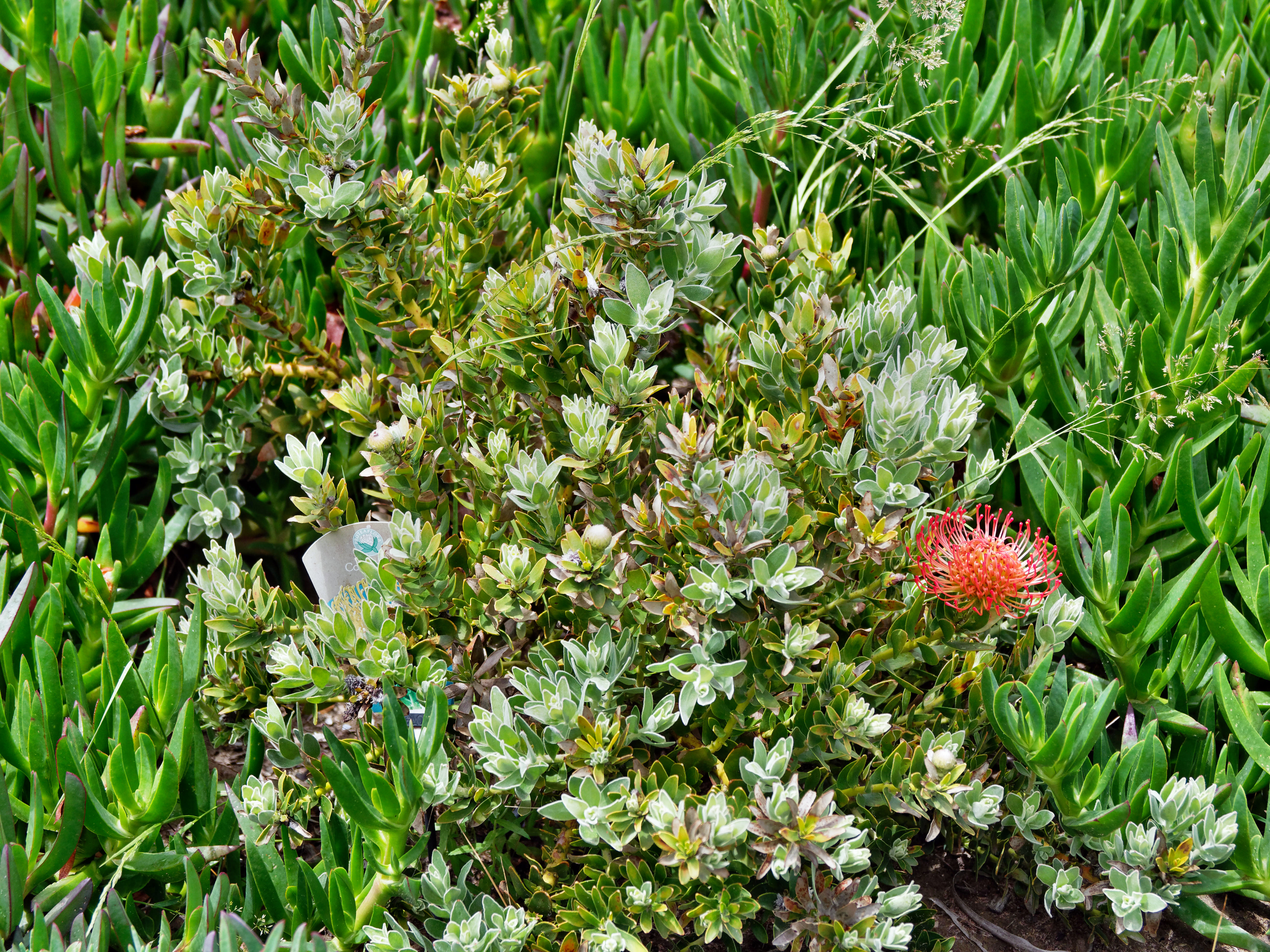 This should be Leucospermum-1.jpeg.  Is it missing?