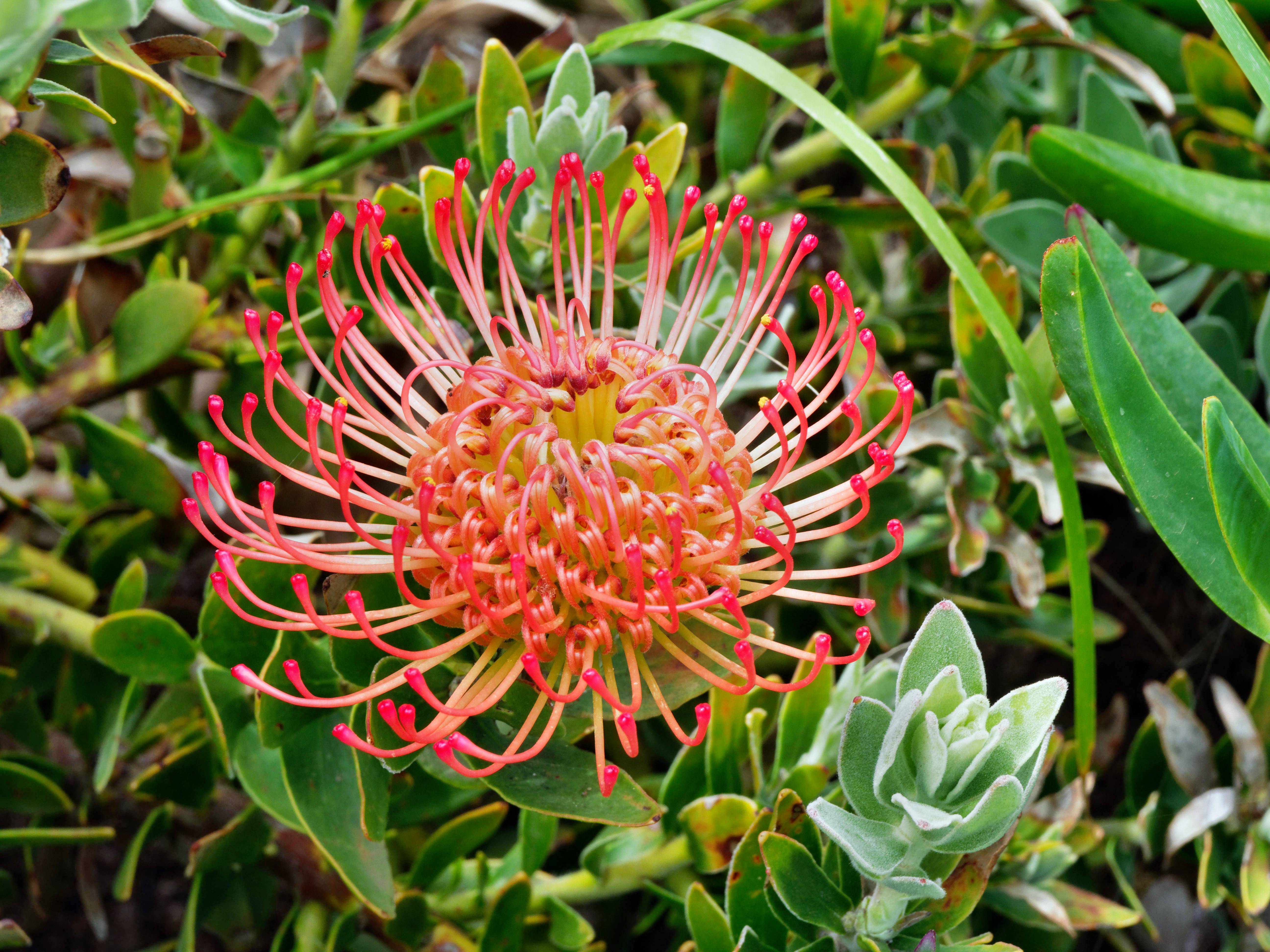 This should be Leucospermum-2.jpeg.  Is it missing?
