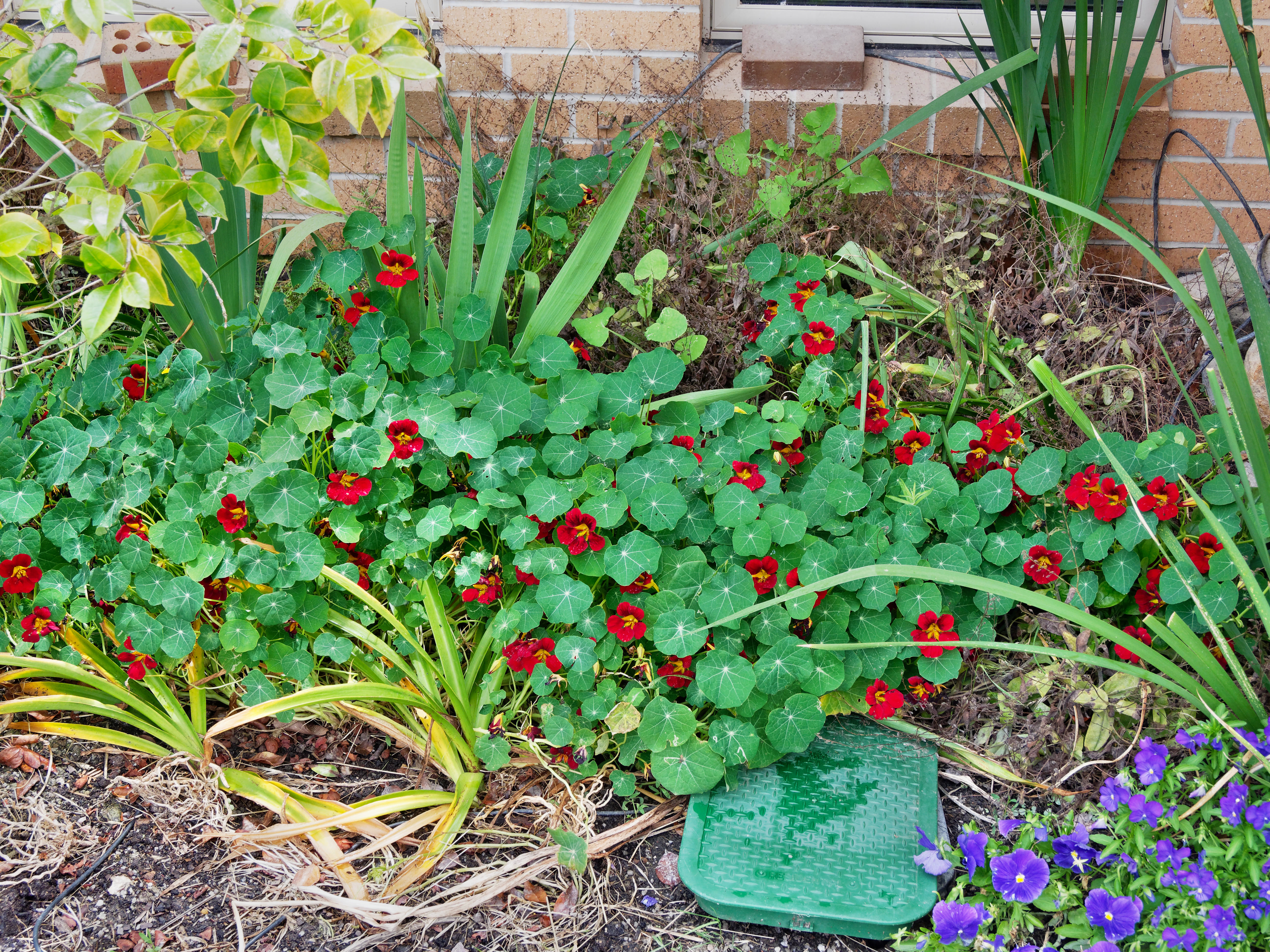 This should be Tropaeolum-1.jpeg.  Is it missing?