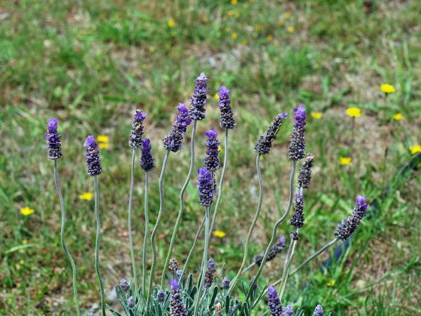 Lavender-1.jpeg