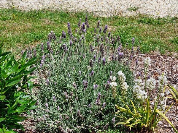 Lavender-galomimus.jpeg