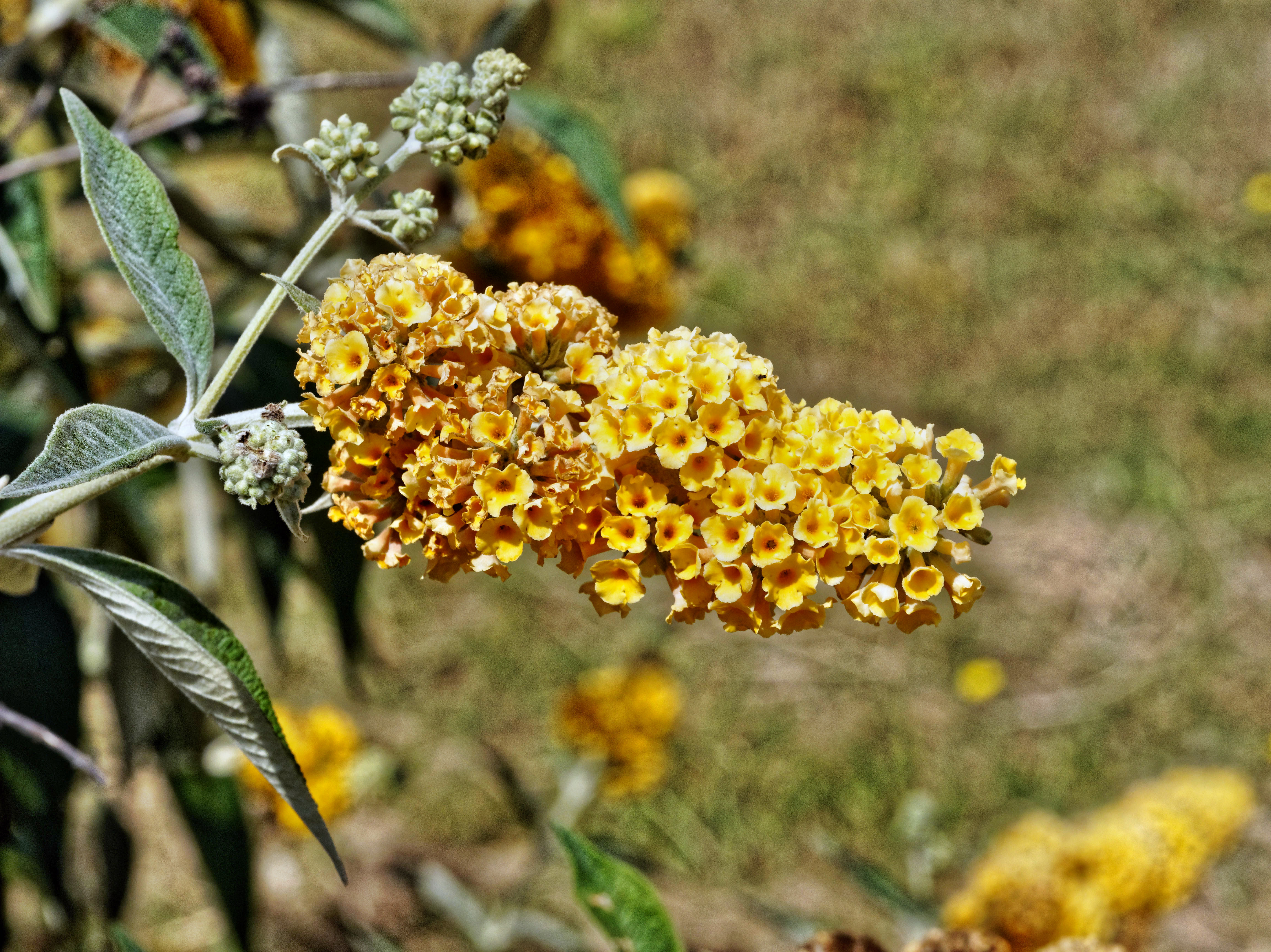 This should be Buddleja-3.jpeg.  Is it missing?