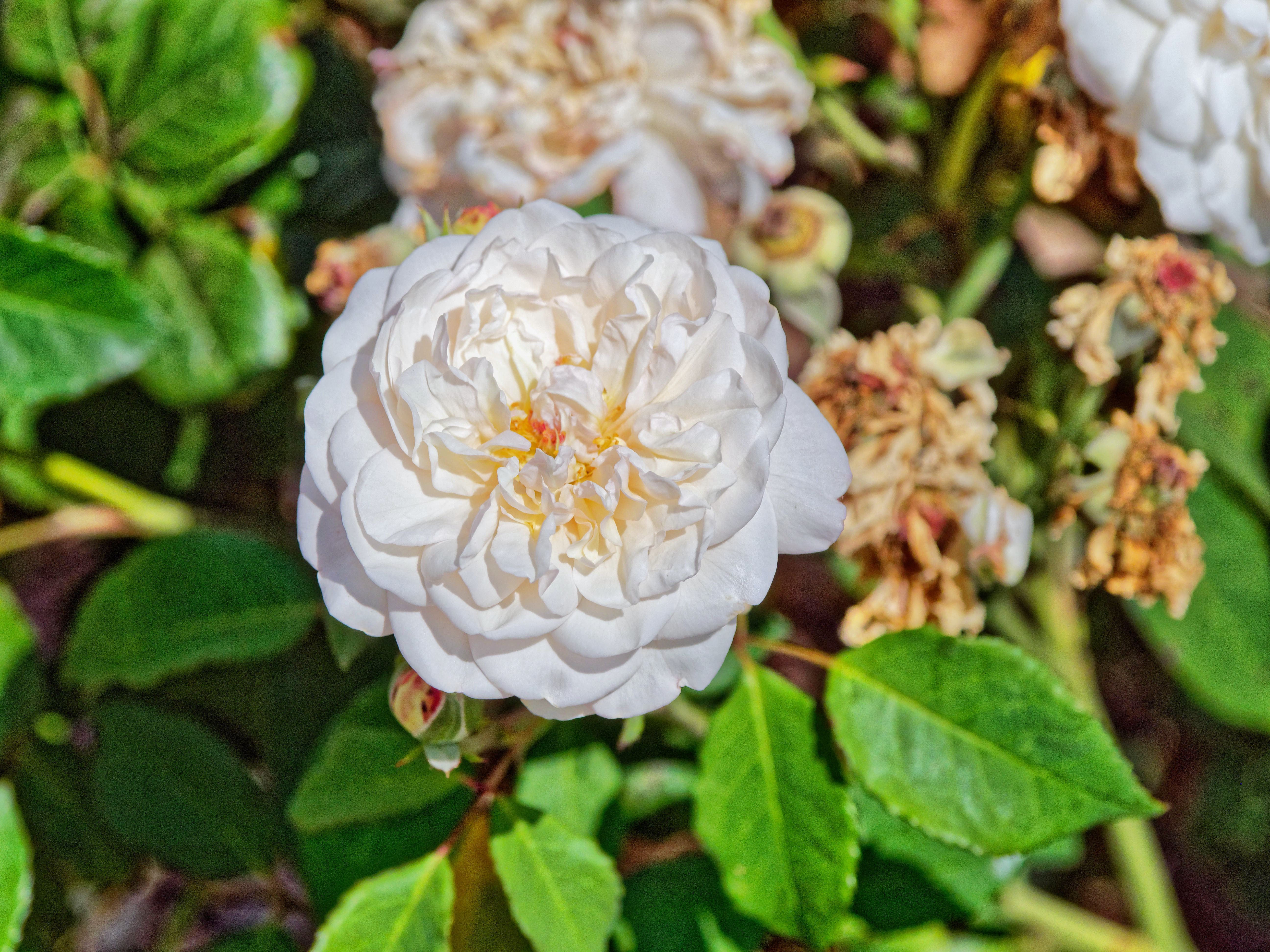 Rose-12.jpeg
