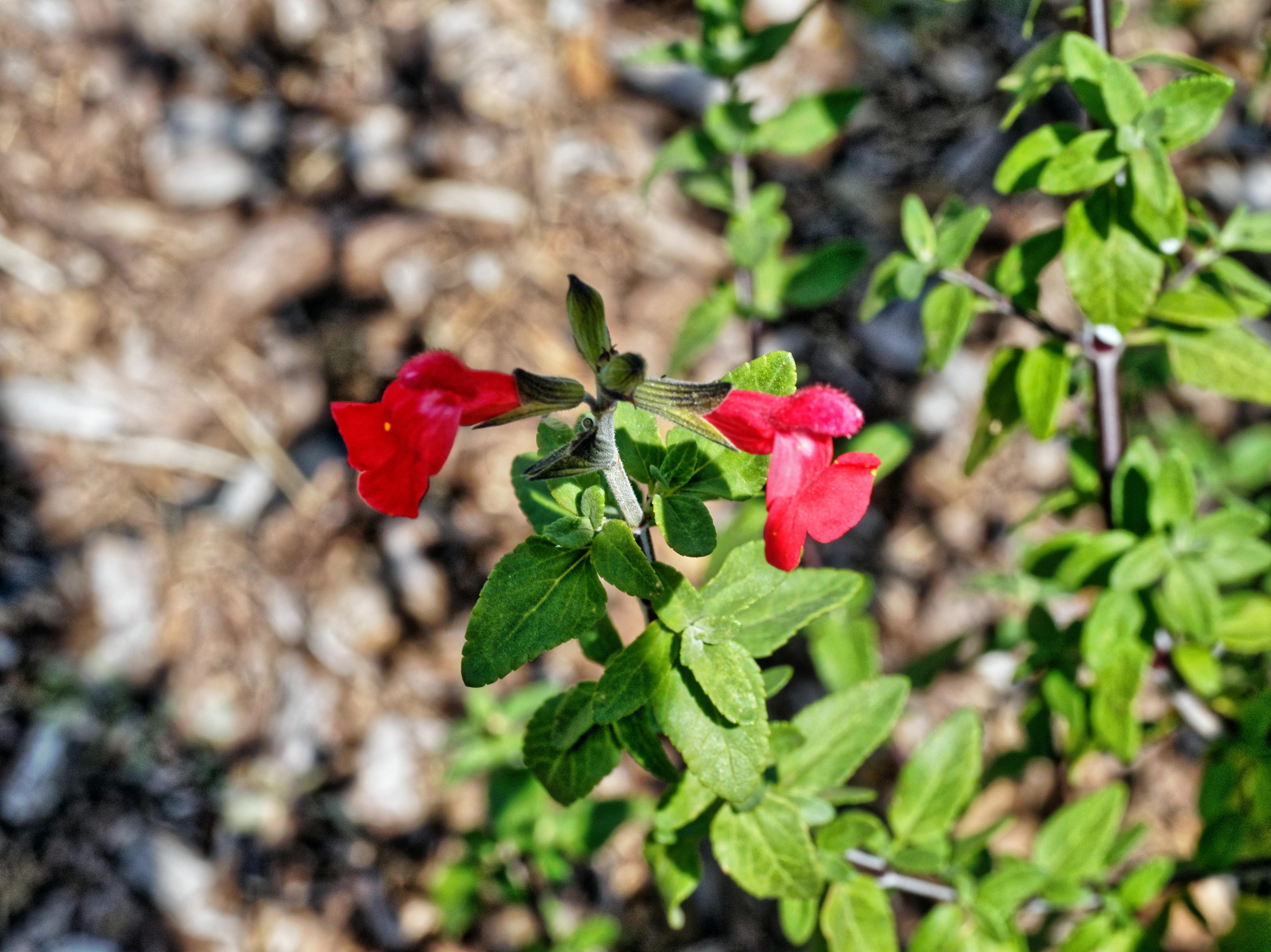 Salvia-4.jpeg