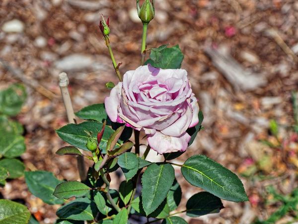 Rose-11.jpeg