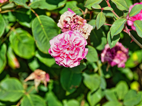 Rose-13.jpeg