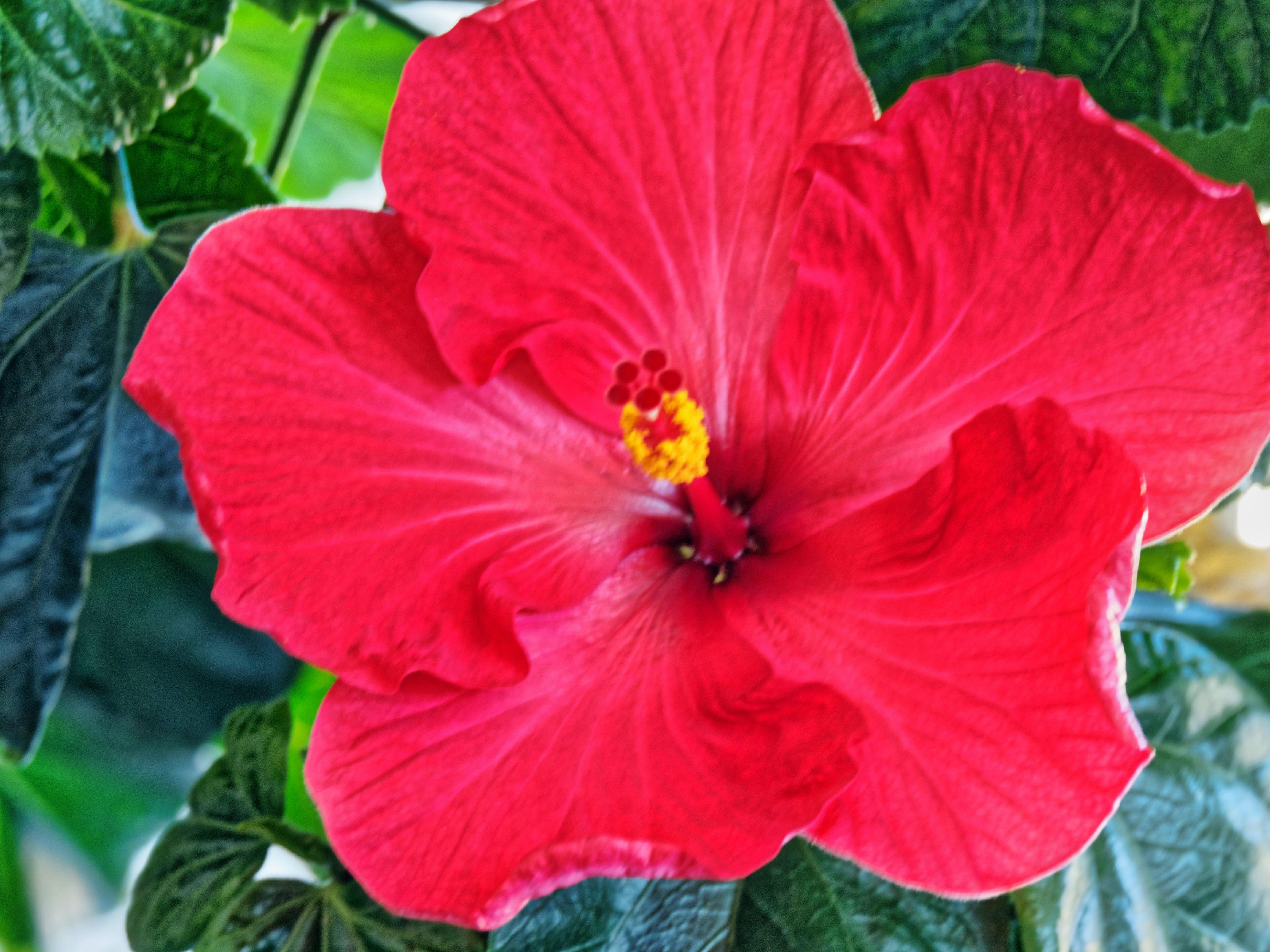 Hibiscus-26.jpeg