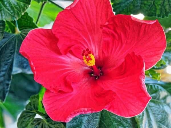 Hibiscus-24.jpeg