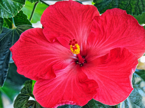 Hibiscus-27.jpeg