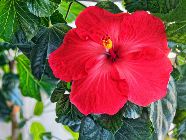Hibiscus-35.jpeg