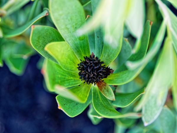 Leucadendron-salignum-x-discolor-2.jpeg