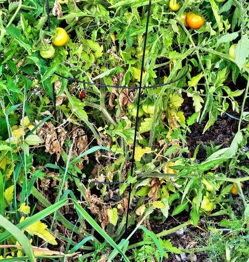 Tomatoes-3-detail.jpeg