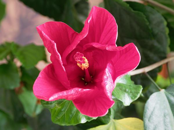 Hibiscus-22.jpeg