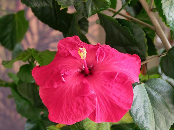 Hibiscus-61.jpeg