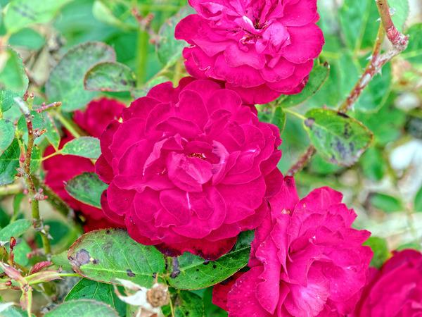 Roses-10.jpeg