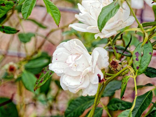 Roses-17.jpeg