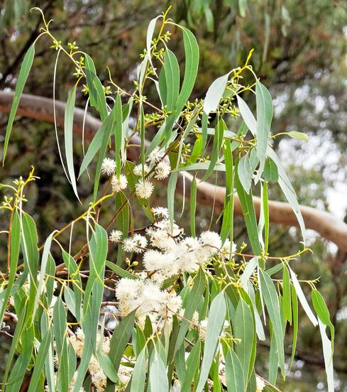 Flowering-eucalypt-detail.jpeg
