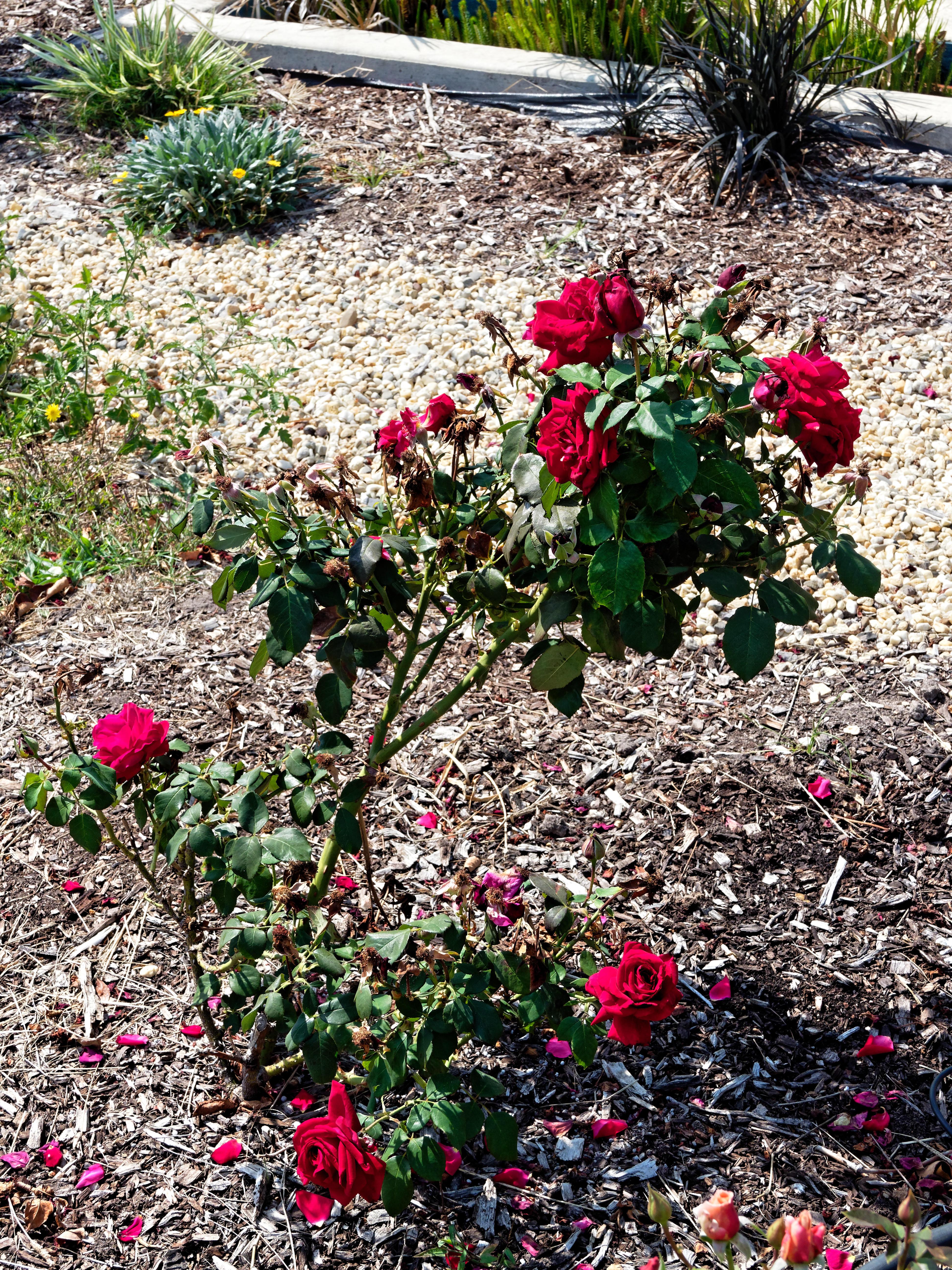 Roses-7.jpeg