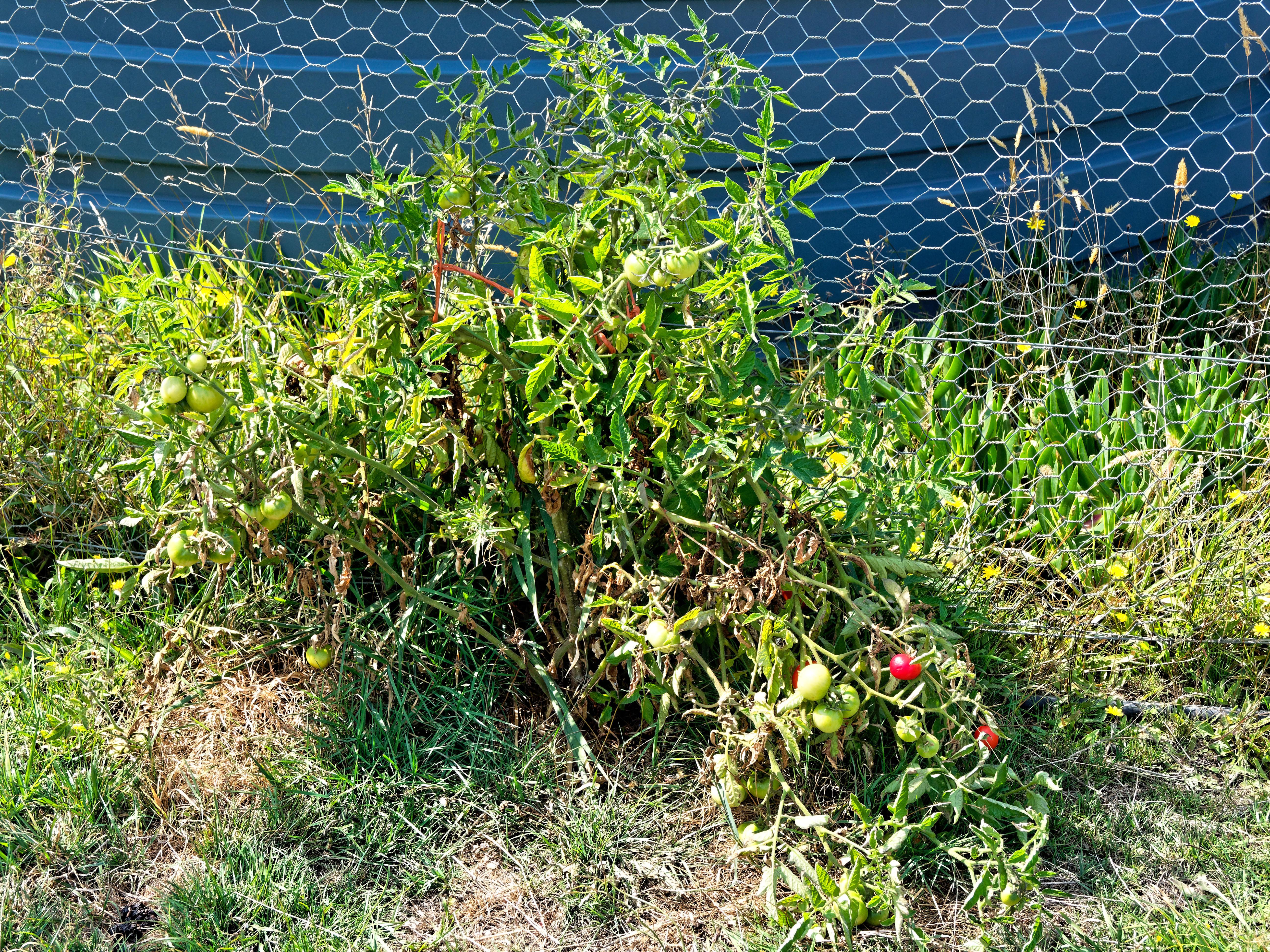 Tomatoes-2.jpeg