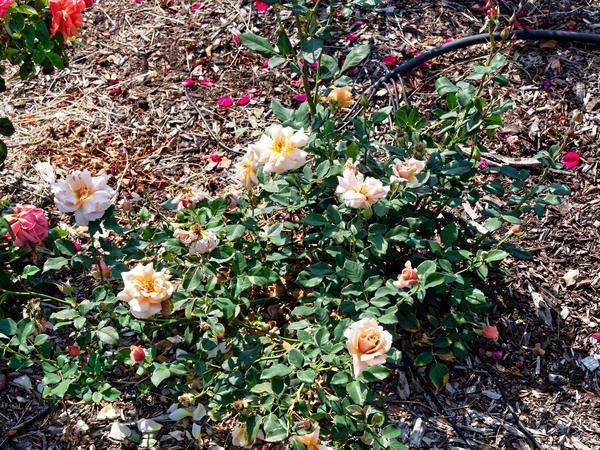 Roses-5.jpeg